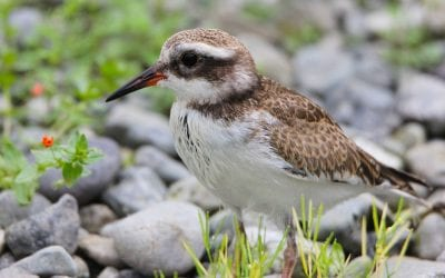 Saving the Shore Plover