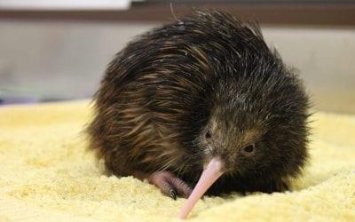 Inside a Kiwi Nursery